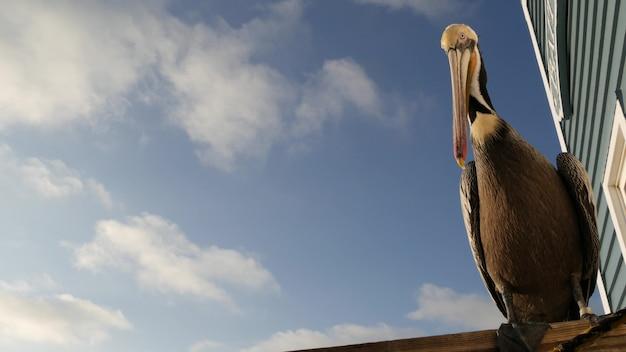 목조 부두 난간에 있는 야생 갈색 펠리컨, 오션사이드 보드워크, 캘리포니아 바다 해변, 미국 야생 동물