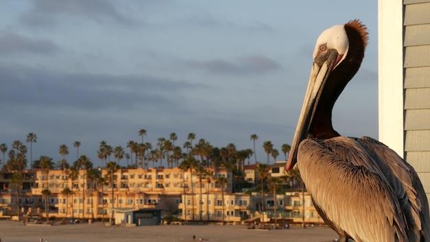 Wild brown pelican on pier, california ocean beach usa. coastal pelecanus, big bird. large bill beak