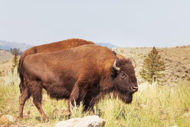 Дикий буйвол в национальном парке йеллоустоун, сша