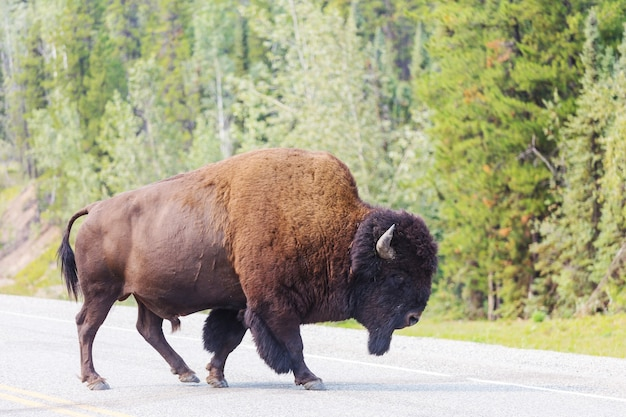 アメリカ、イエローストーン国立公園の野生の水牛