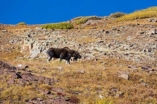 秋の山々、コロラド州、米国の野生のヘラジカ