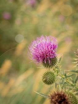 緑の牧草地に野生のごぼうの花