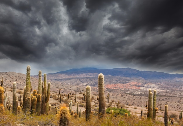 アルゼンチンのアンデス山脈のアルティプラノの野生のサボテン