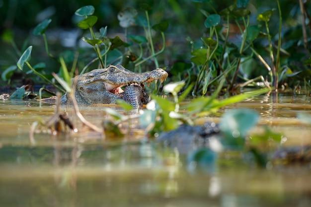 자연 서식지에서 입에 물고기가 있는 야생 카이만