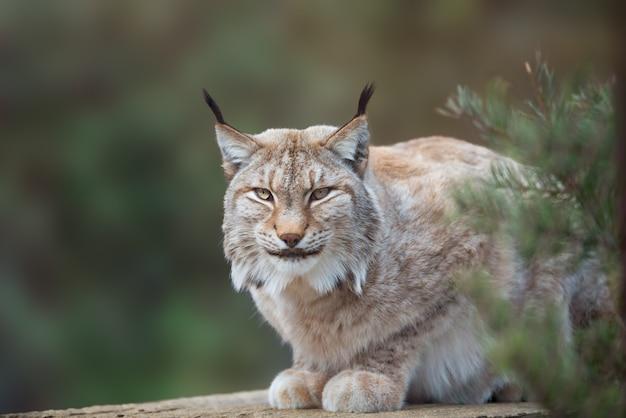 Дикая кошка рысь в лесной среде обитания