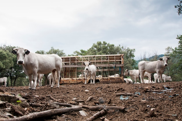 Wild cattle surrounding an empty feed hopper in the french pyrenees