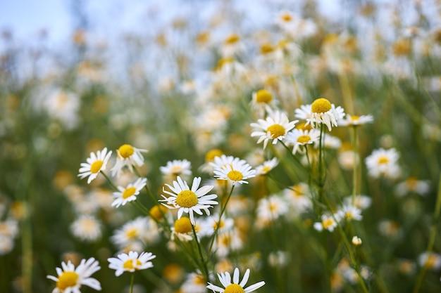 庭の野生のカモミールの花