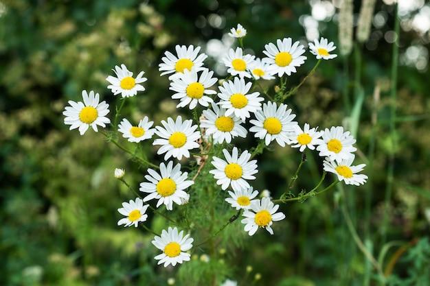 晴れた日にフィールドに野生のカモミールの花