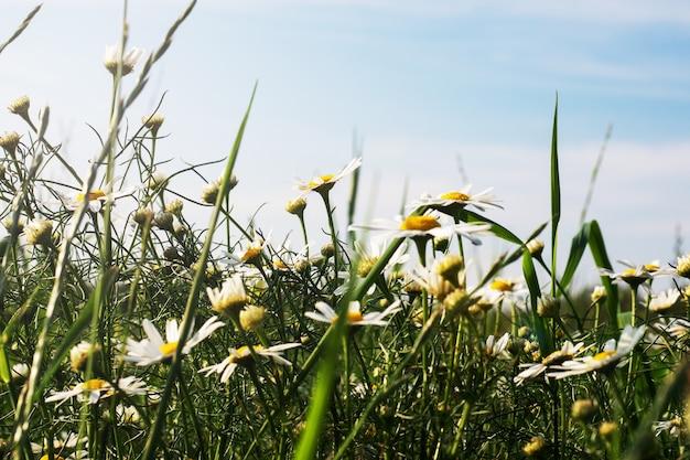 フィールド上の野生のカモミールの花
