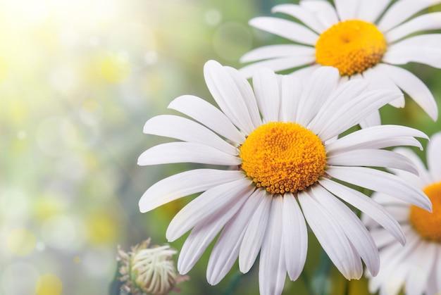 野生のカモミール。白い花。セレクティブフォーカス。ボケ