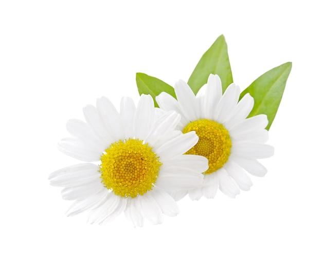 Ромашка дикая с изолированными листьями. белый цветок.