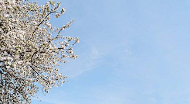 Wild cherry blossom tree