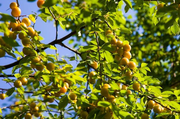 Дикая алыча свисает с ветки дерева желтая спелая слива в саду