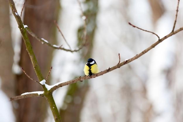 冬の寒い季節の野生のチカディー、ヨーロッパで越冬する鳥