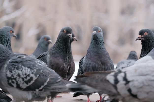Портрет птицы диких городских голубей в зимнее время крупным планом