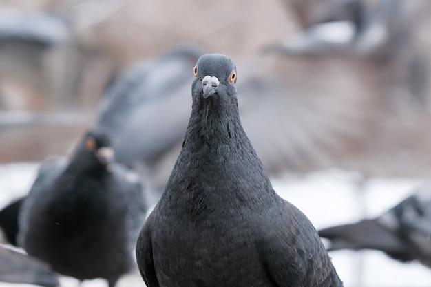 Wild city pigeons bird portrait in winter time close-up