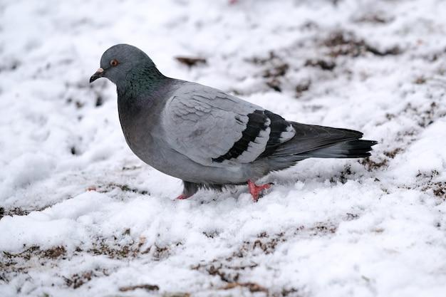 Дикие городские голуби клюют рассыпанное зерно в зимнее время крупным планом