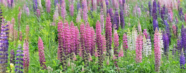 Wild colorful lupins blooming in a meadow