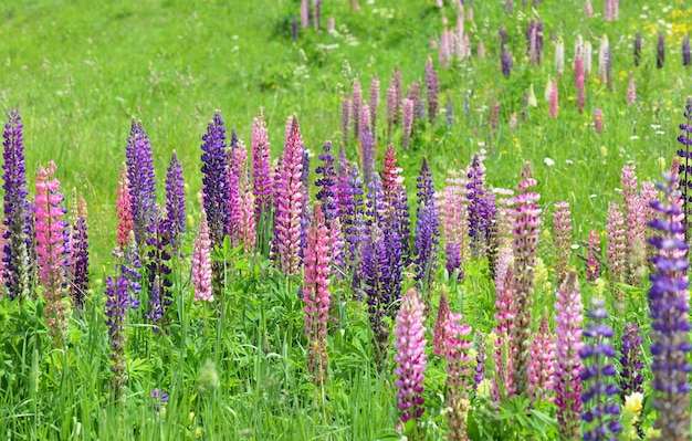 Wild colourful lupins blooming in a meadow