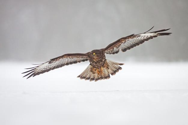 雪の上を飛んでいる野生のノスリ。