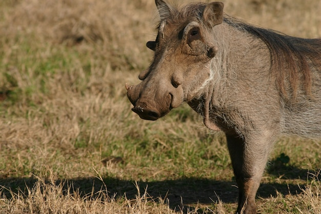 Wild common warthog on the ground in the zoo