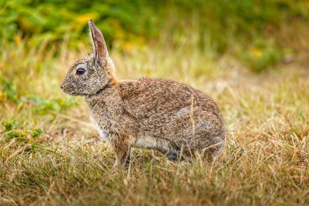 草の中に座っている野生のワタオウサギ
