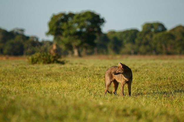 Granchio selvatico che mangia volpe o maikong in pantanal brasiliano