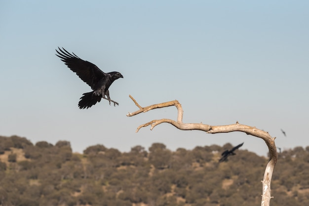 Wild crow in flight before landing on a branch