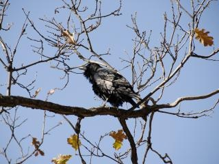 Wild crow in sequoia national park