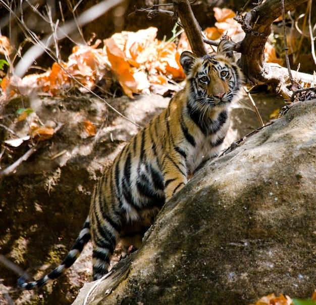 야생 새끼 벵골 호랑이는 정글 인도 bandhavgarh 국립 공원의 바위에서 밖으로 보이는