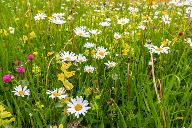 Wild daisies on a summer alpine meadow in the italian dolomites