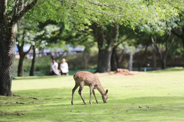 Дикий олень в городе нара, япония