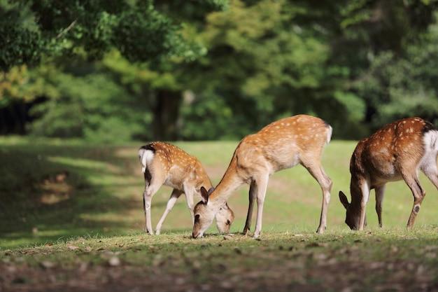 日本の奈良市の野生の鹿