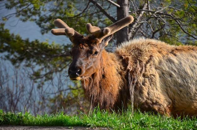 公園の野生の鹿。神々の庭、コロラド州、アメリカ