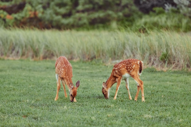 Wild deers outdoors in forest eating grass fearless beautiful and cute