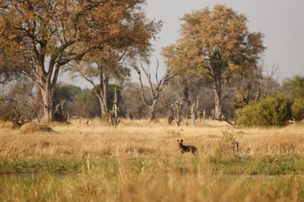 絶望的なインパラを狩る野生の犬