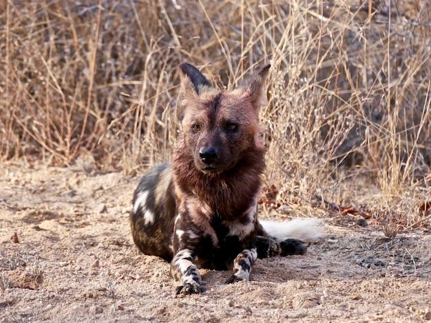 Дикие собаки в национальном парке крюгера