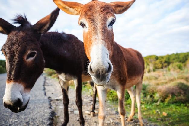 Wild donkey in northern cyprus