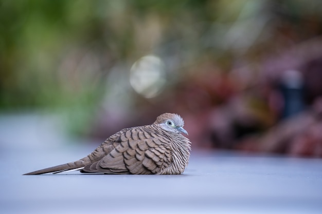 The wild dove or spilopelia chinensis or pearl-necked dove or spotted turtle-dove