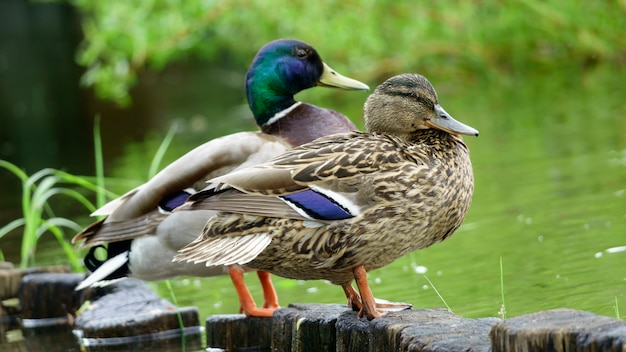 Wild drake and duck