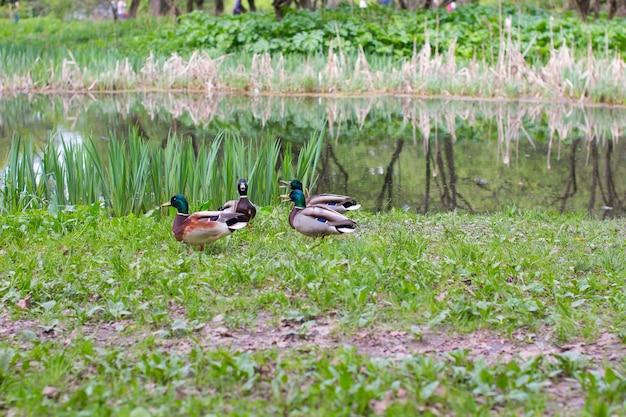 Дикие селезни греются на берегу озера