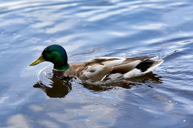Дикий селезень-утка плавает по воде озера. водоплавающих птиц крупным планом
