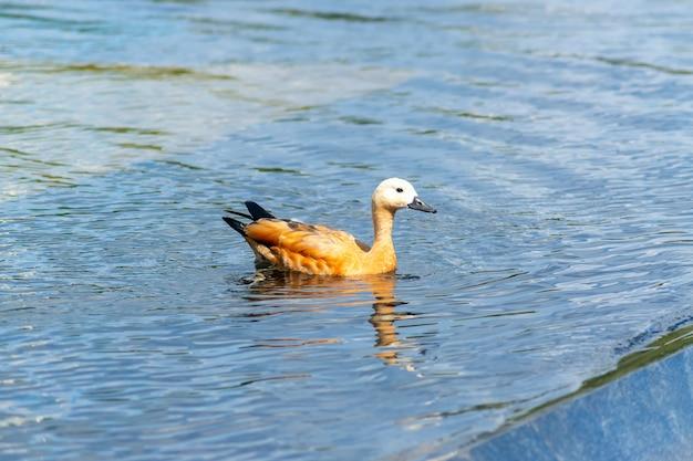 Дикая утка плавает в пруду городского парка. дикая природа.