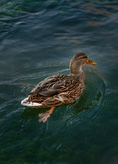 Wild duck floating on the water