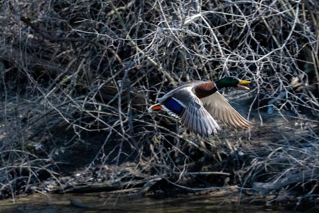 Дикая утка летит рядом с ветвями дерева