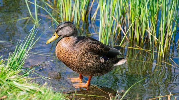 Дикая утка в естественной среде на пруду