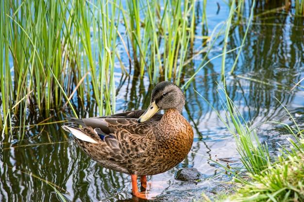 연못에 자연 환경에서 야생 오리