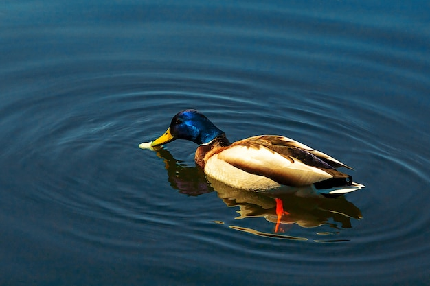 Дикий самец утки ест хлеб в озере или пруду на фоне естественной воды. концепция утки малларда. закройте вверх. селективный мягкий фокус. малая глубина резкости. пространство для копирования текста.
