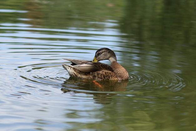 물에 야생 오리입니다. 호수에 갈색 오리