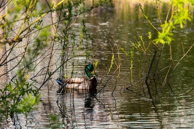 Wild duck swimming at lake